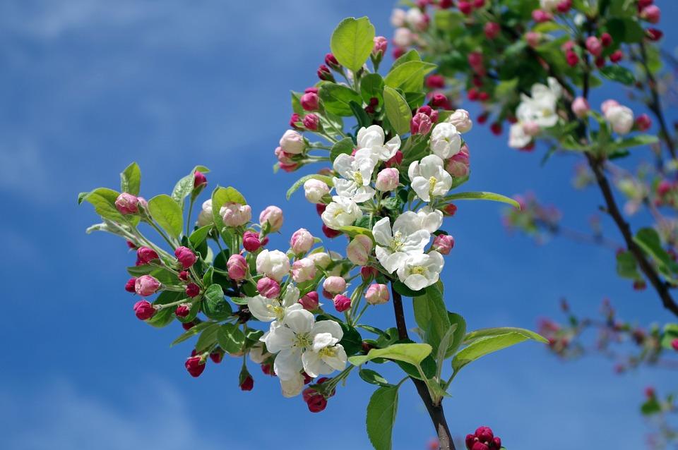 pommier-fleurs
